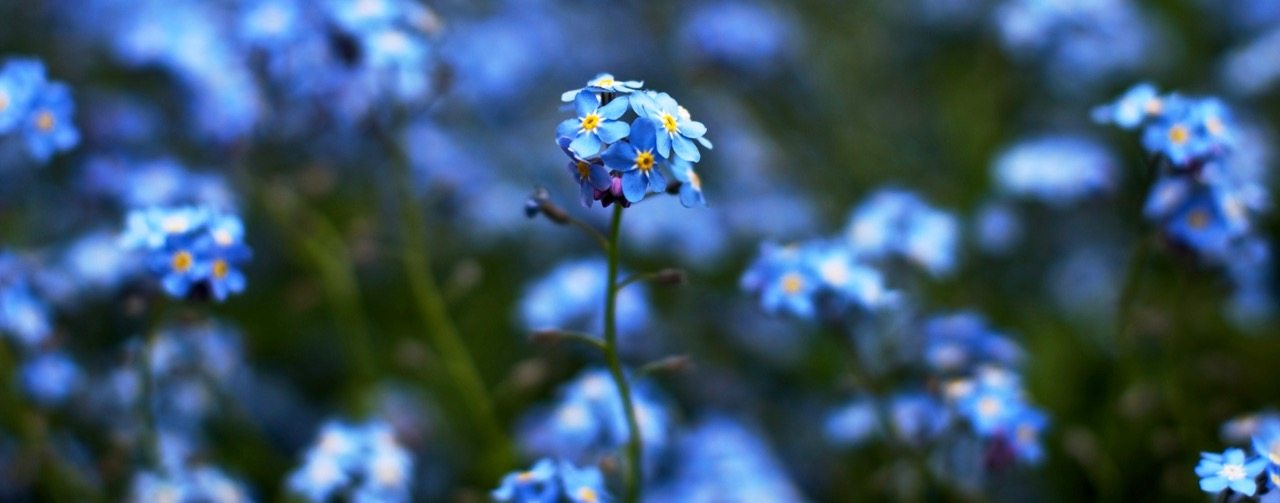 feinslieb forget me not