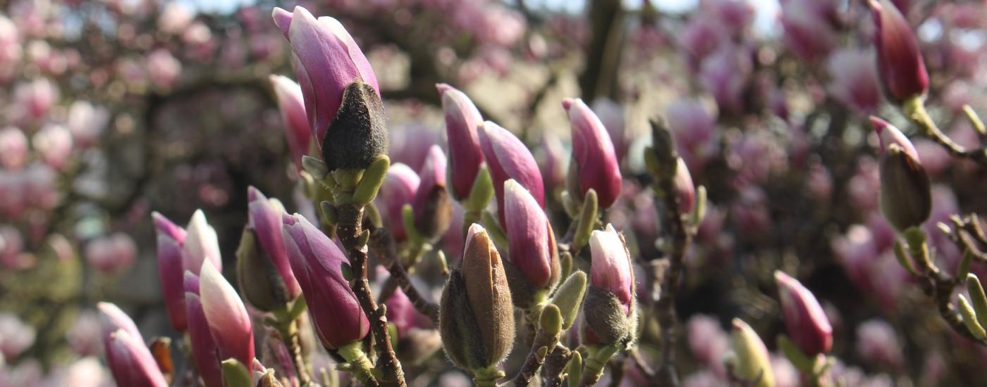 feinslieb Magnolia