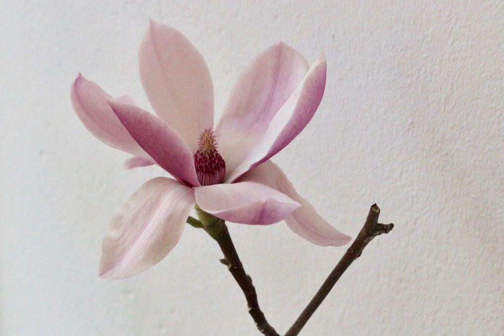 einzelne Magnolienblüte