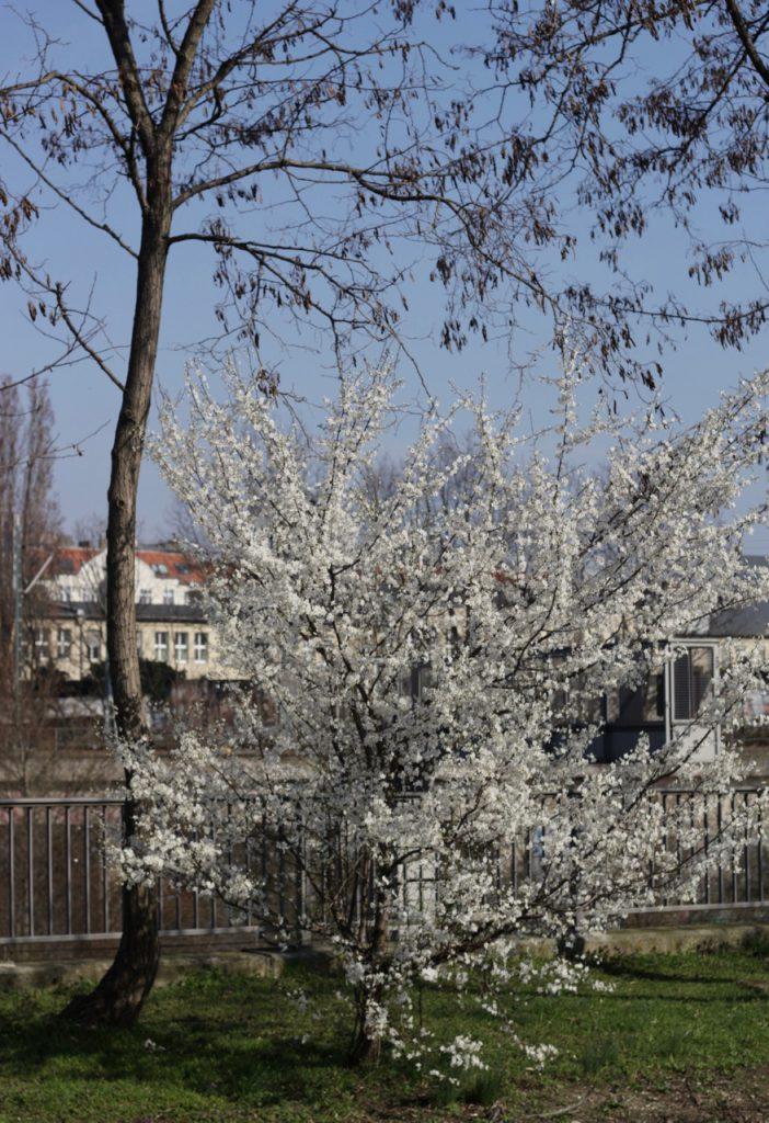 Blühender Busch (weiß) an den S-Bahn-Gleisen