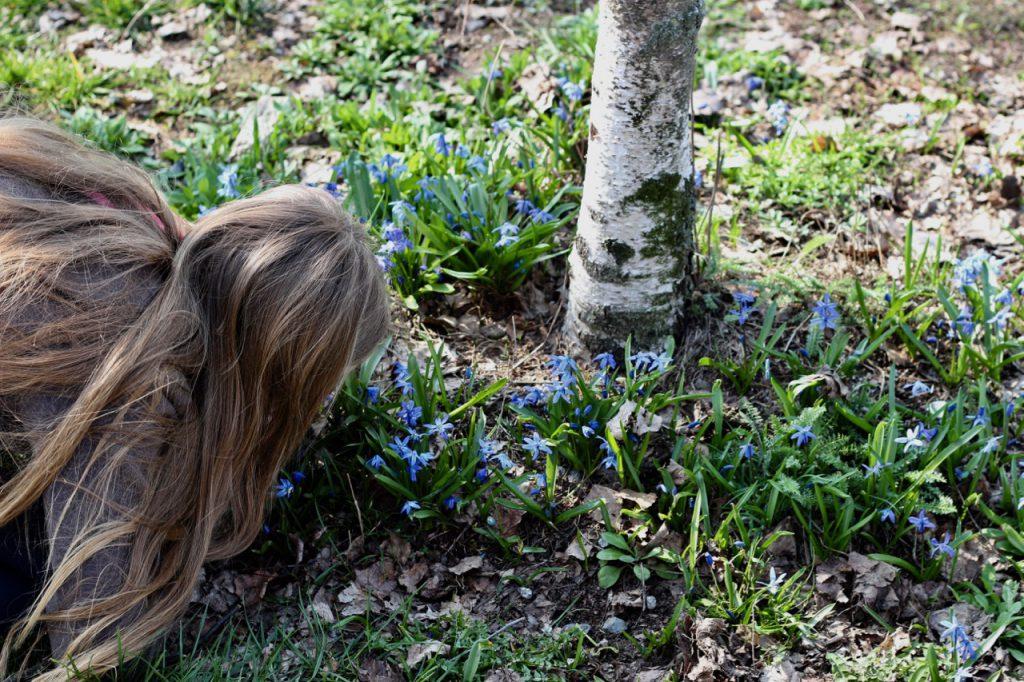 Kind riecht an Leberblümchen an Birke
