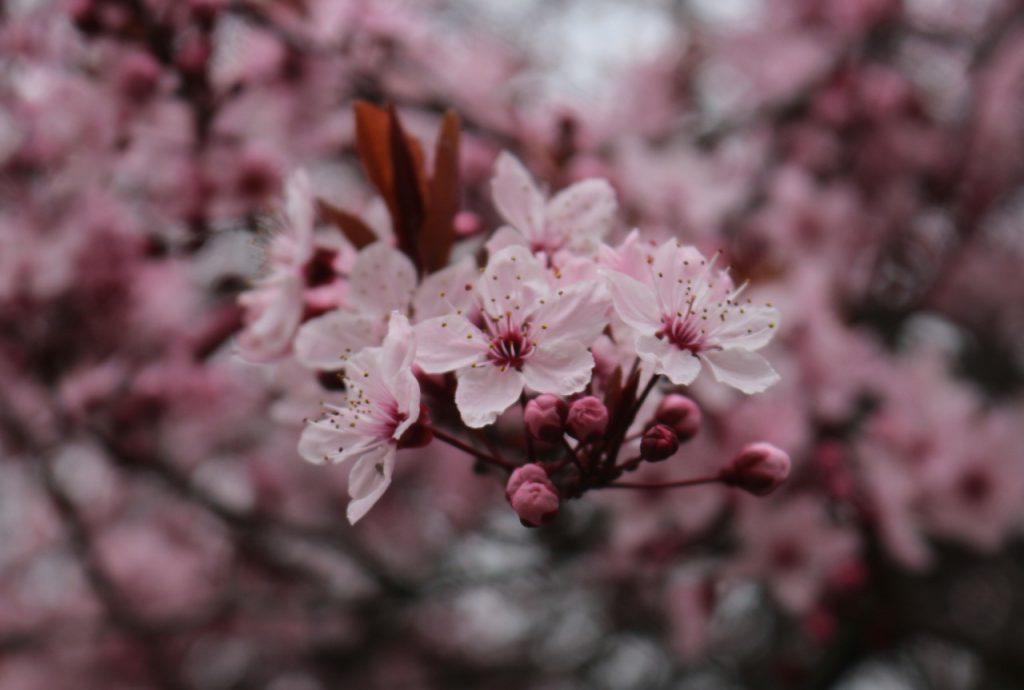 Rosa Baumblüten, evtl. Pfirsich