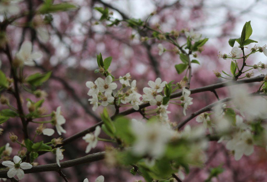 Weiße Baumblüten vor rosa Blüten