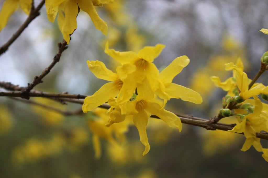 Forsythien-Blüten nah