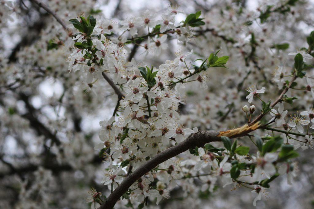 Kirschblüten nah