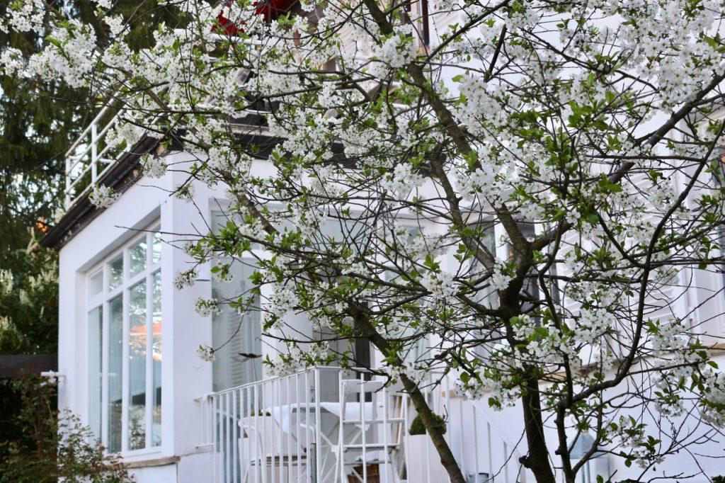 Kirschblüten vor weißer Villa