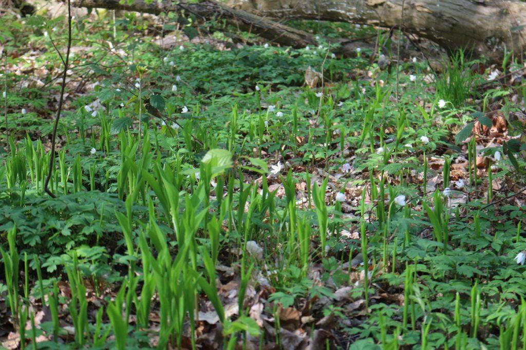 Anemonen und Maiglöckchen im Frühlingswald