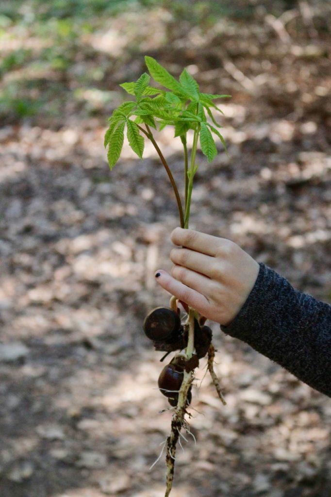 Kinderhand hält Sproß eines Kastanienbaums
