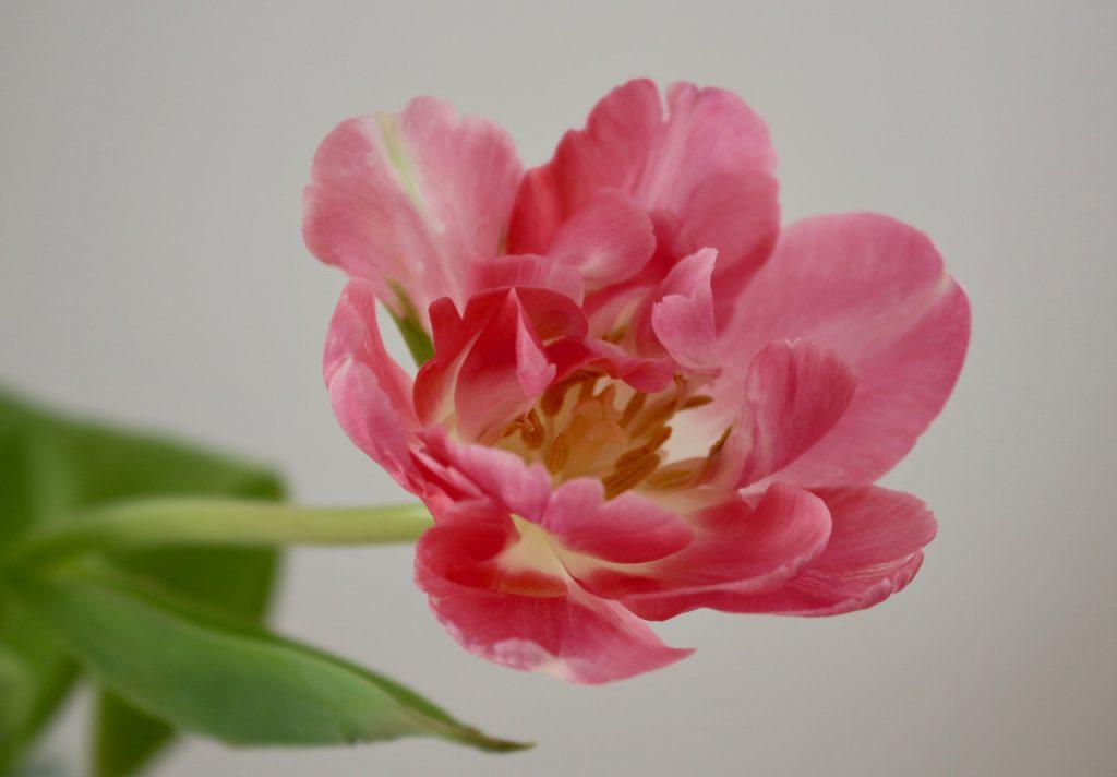 rosa Tulpenblüte vor hellgrauer Wand