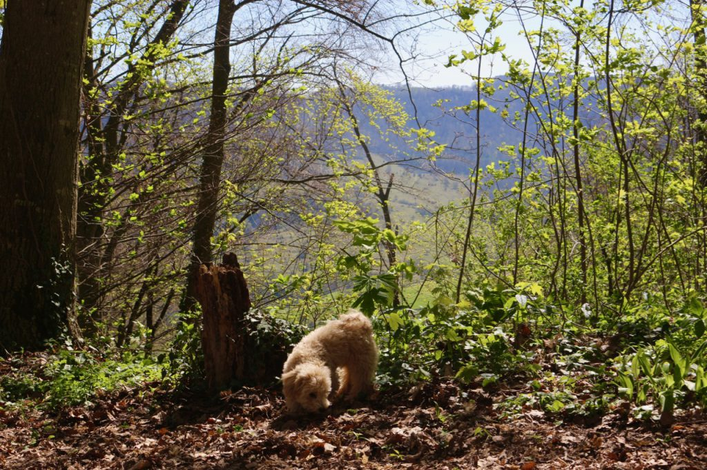 Kleiner Hund im Wald (Bolonka-Zwergpude-Mix)