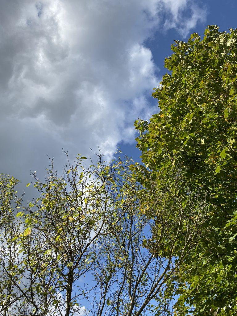 Pflaumenbaum mit wenigen Blättern und Ahornbaum vor blauem Himmel