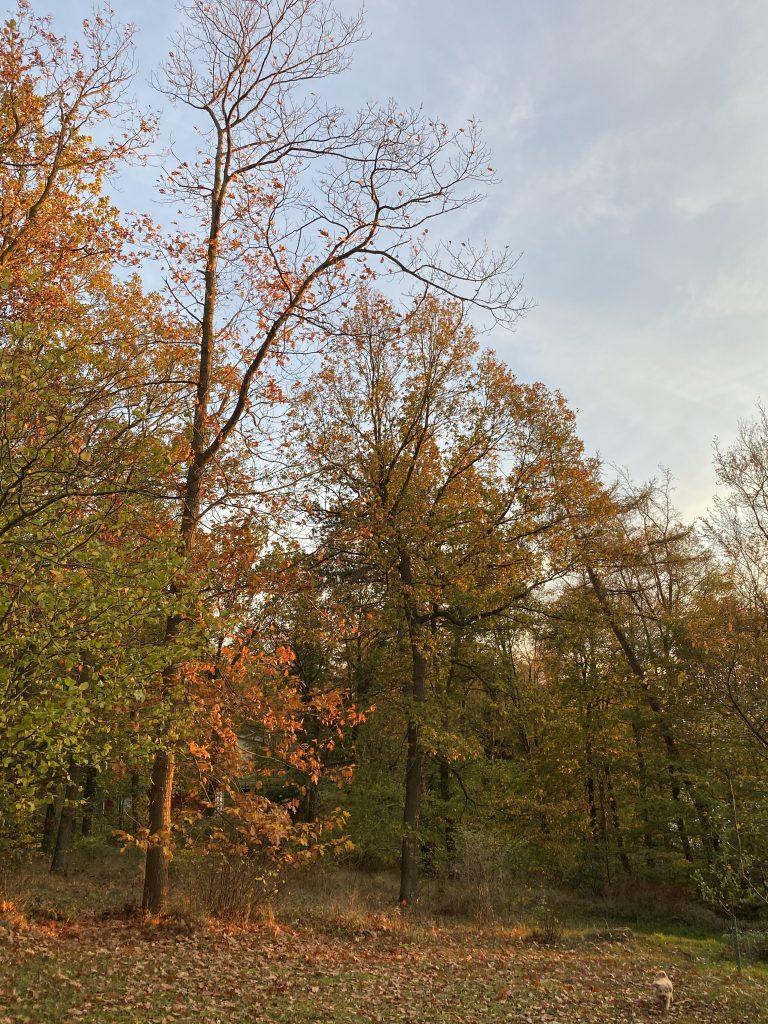 Roter Herbstwald, kleiner Hund (beiger Bolonka)