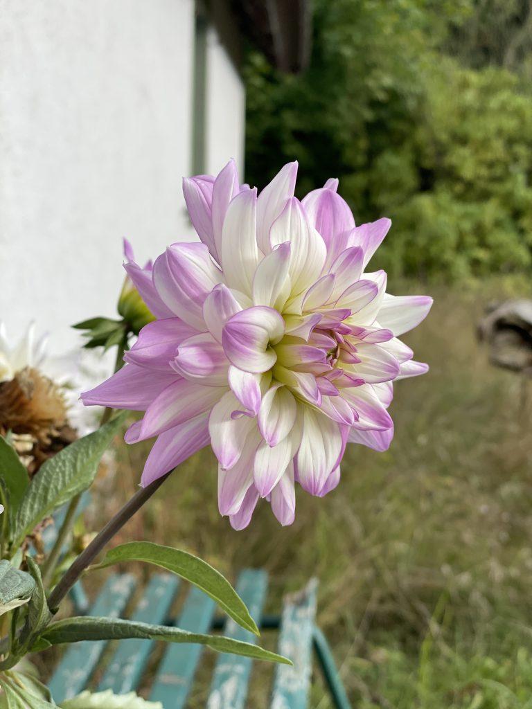 Dahlie vor kleinem weißem Haus, rosa-weiss gefaerbt