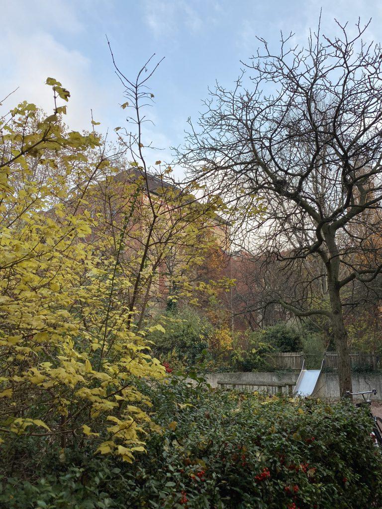 gelber Ahorn im Vordergrund, kahler Nussbaum im Hintergrund, Vogelbeerenhecke