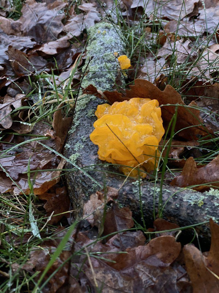 orangener Pilz an Ast auf Waldboden