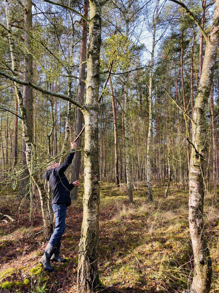 Mann versucht mit einem Stock, Misteln von einem Baum zu schlagen