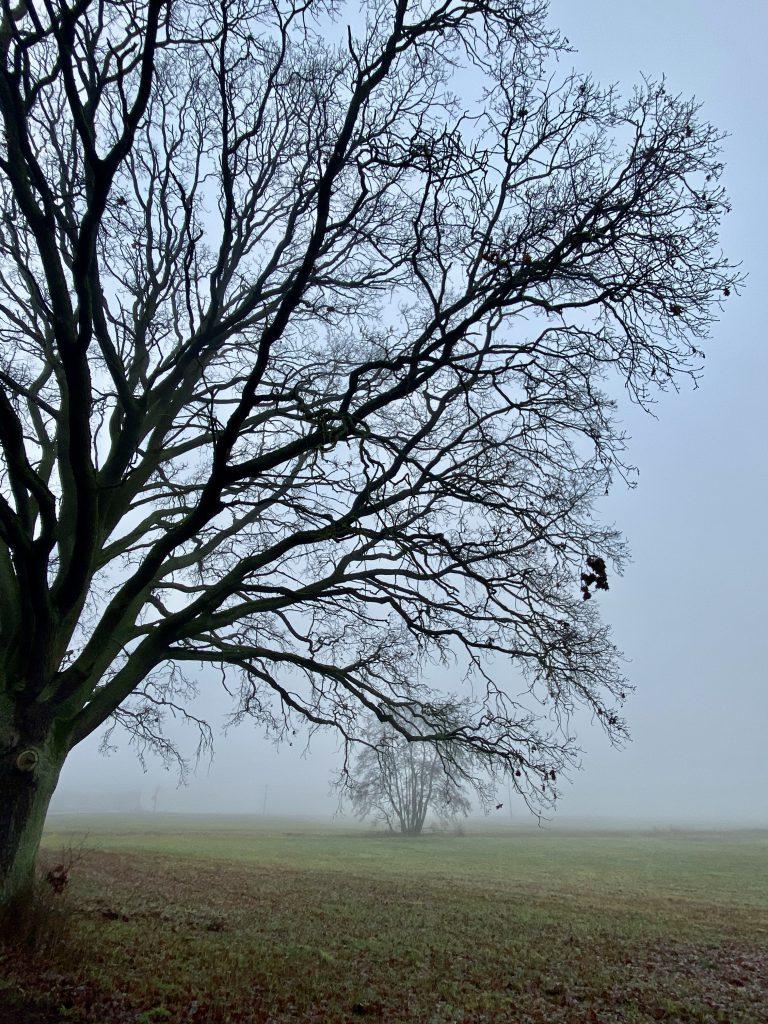 Kahle Eichen im Nebel auf flachem Feld