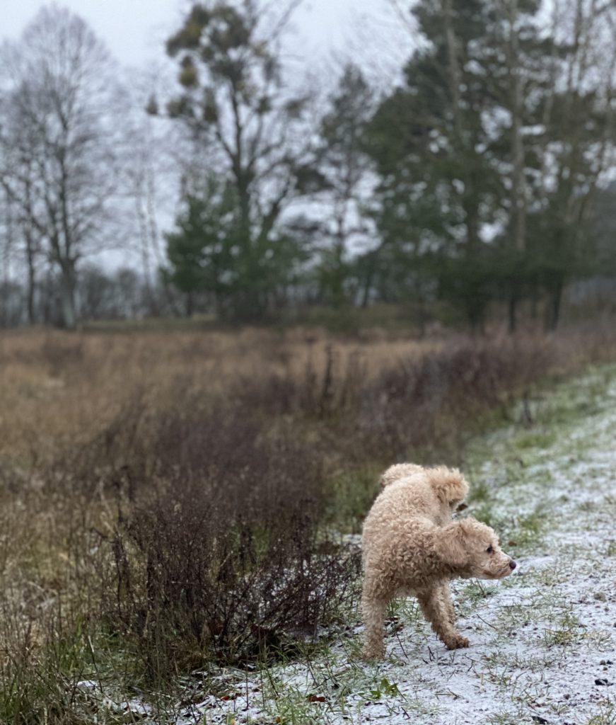 Hund hebt Bein an Feld im Winter freie Natur