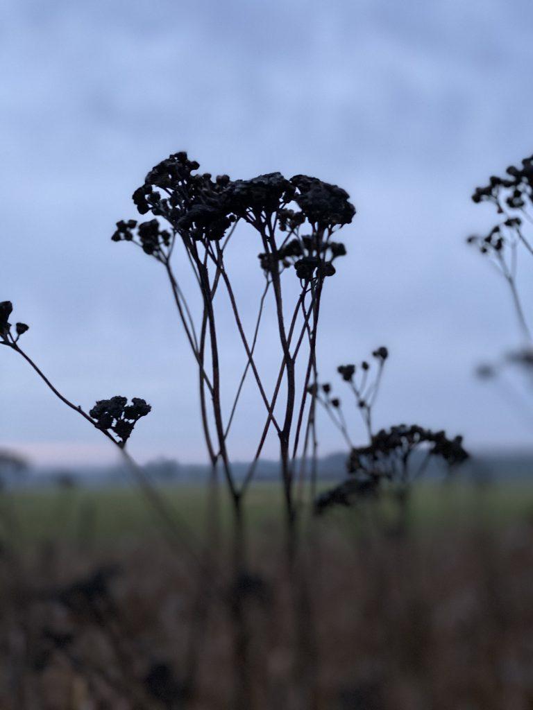 schwarze trockene Blüte von Rainfarn gegen Dezemberhimmel