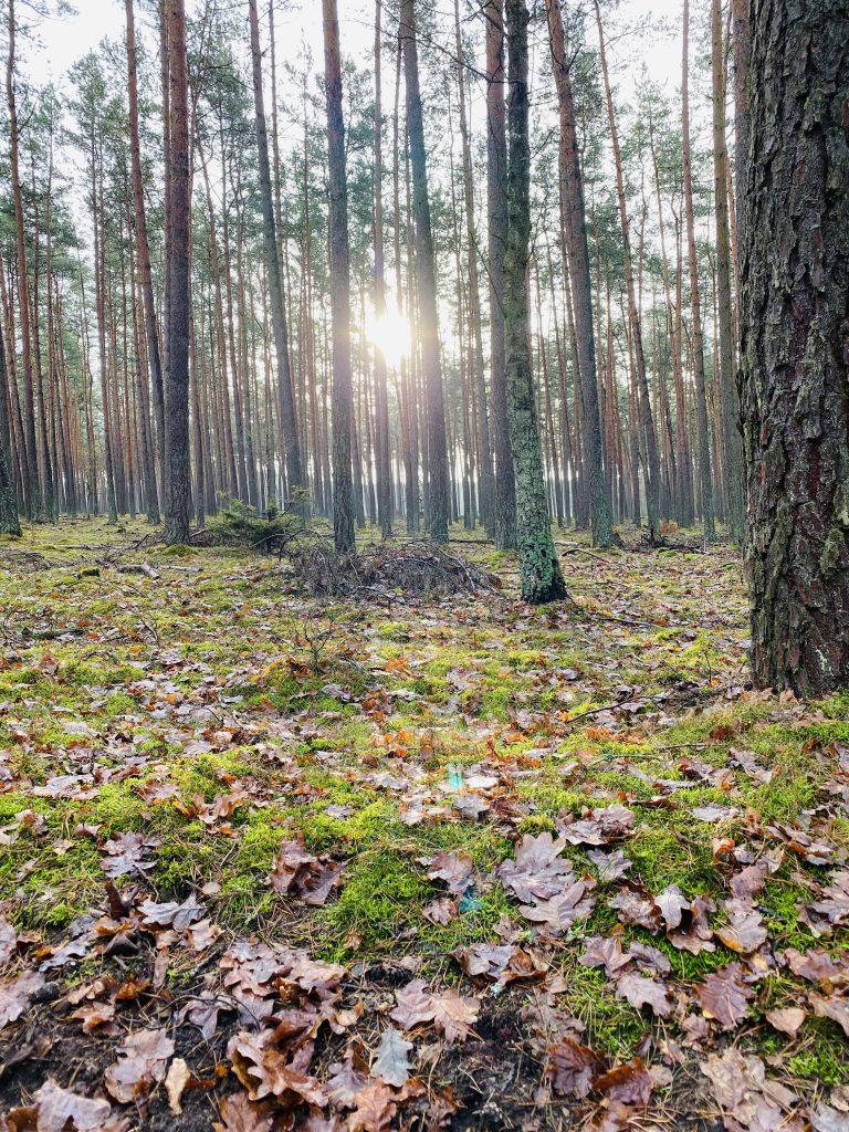 Wintersonne scheint durch Waldbäume