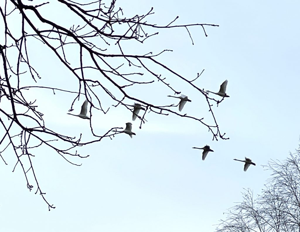 Schwarm Schwäne hinter Baumzweigen