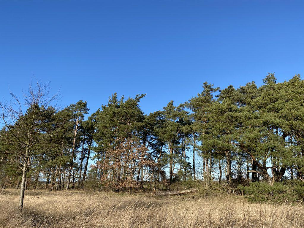 Lichter Waldsaum mit Kiefern im Winter, blauer Himmel