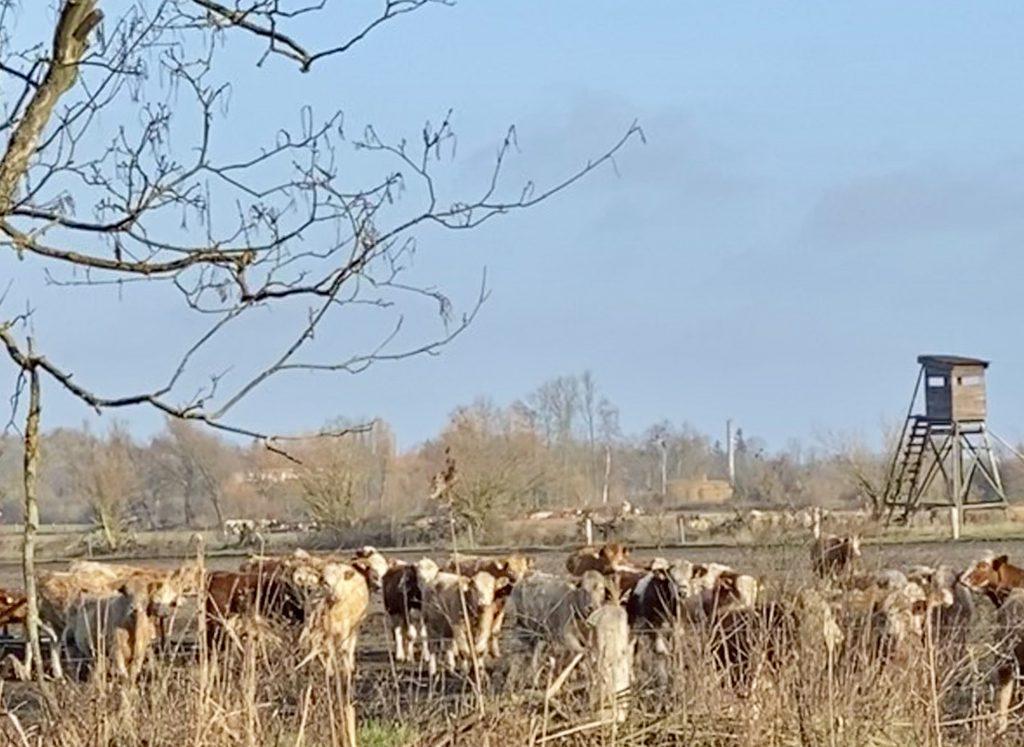 Kühe in winterlicher Landschaft vor Hochsitz.