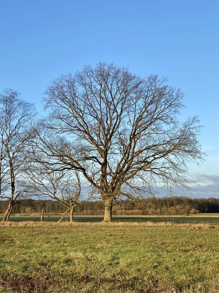 Eiche auf Wiese vor blauem Himmel ins Winter