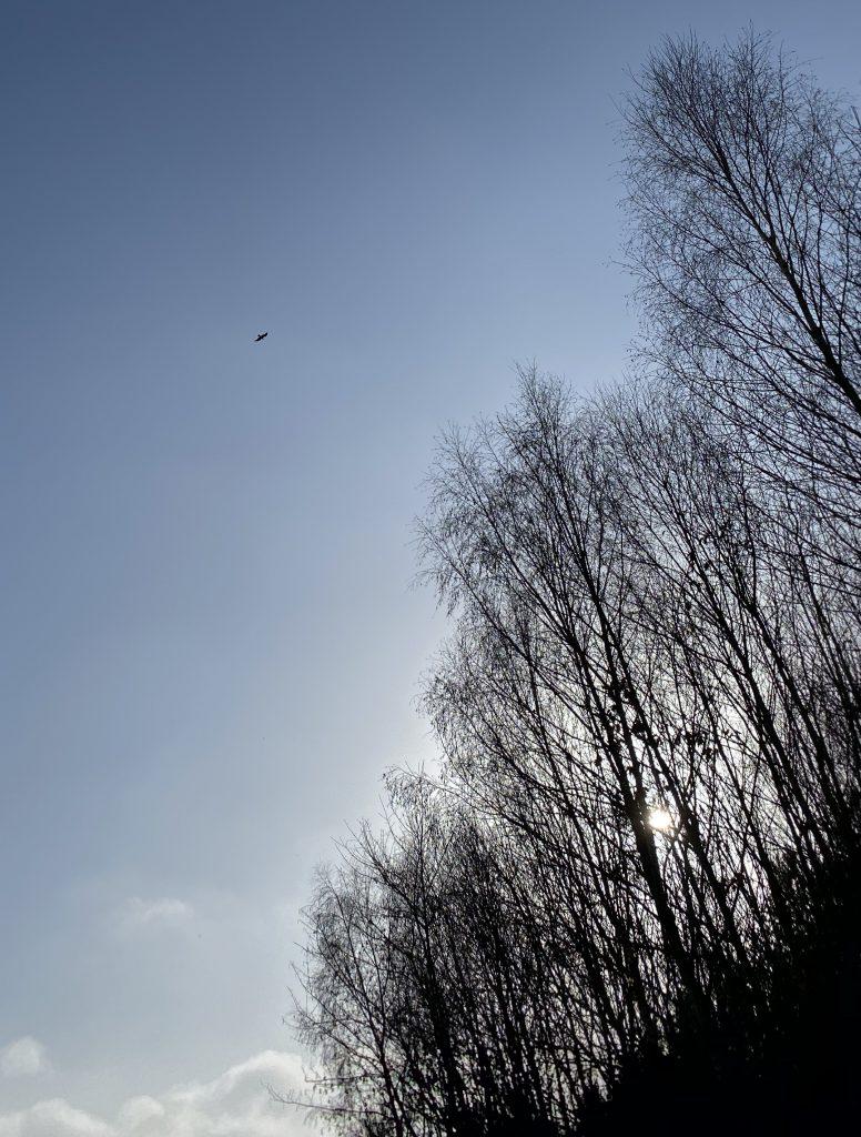 Fischadler fliegt auf kahle Bäume zu (weit weg)