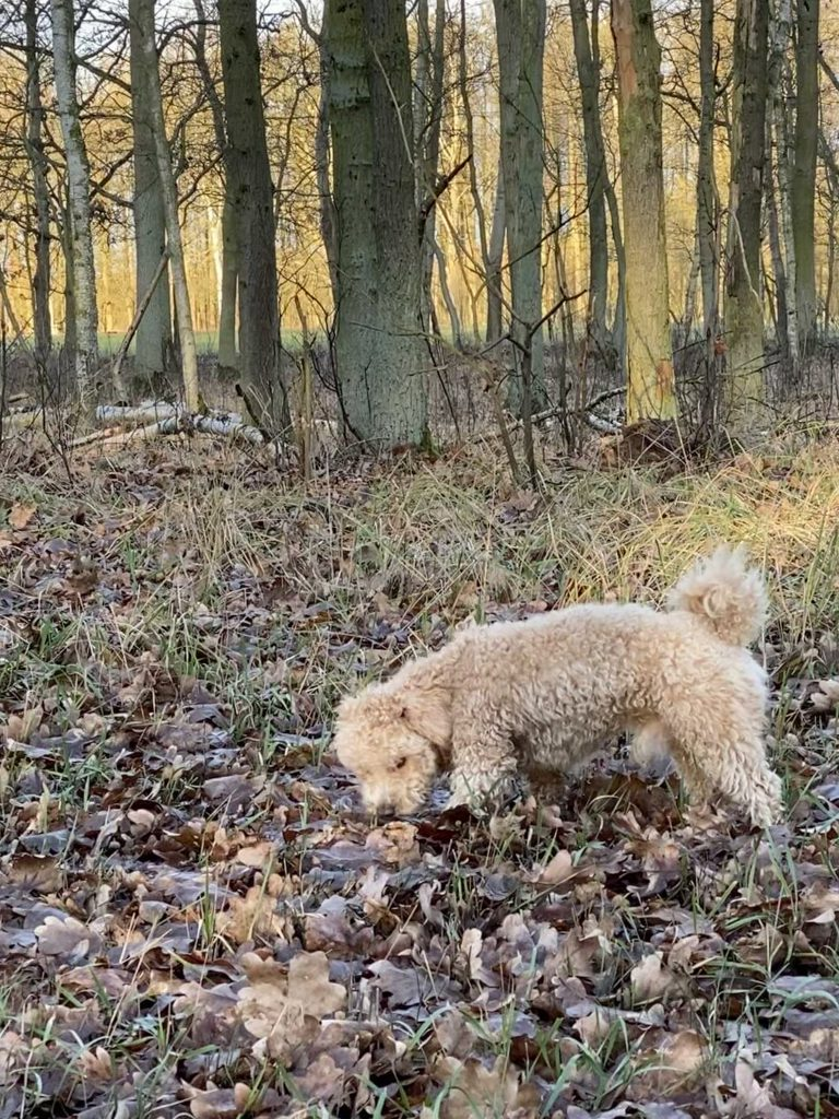 Unser Hund schnüffelt in Eichenblättern vor lichtem Wäldchen im Winter