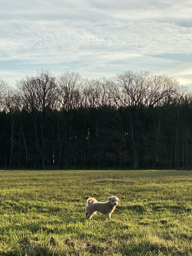 Unser Hund (Bolonka-Zwergpudel) auf grüner Wiese vor Waldessaum im Winter