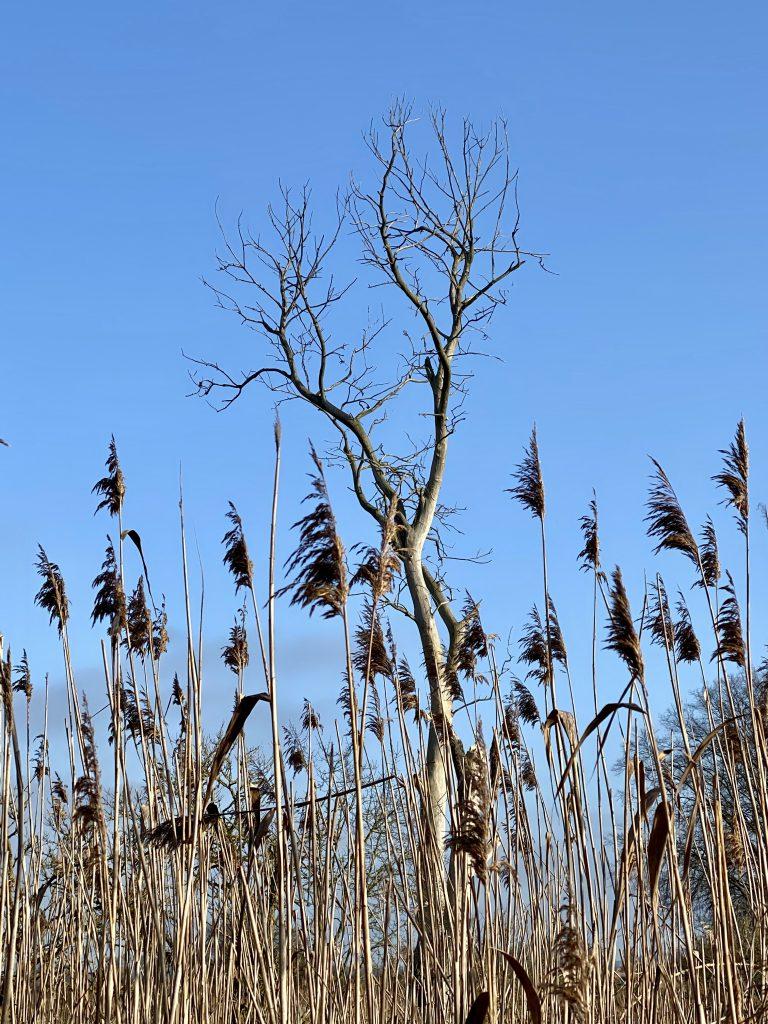 Schilfblüten und trockenes Baum-Geäst vor blauem Himmel