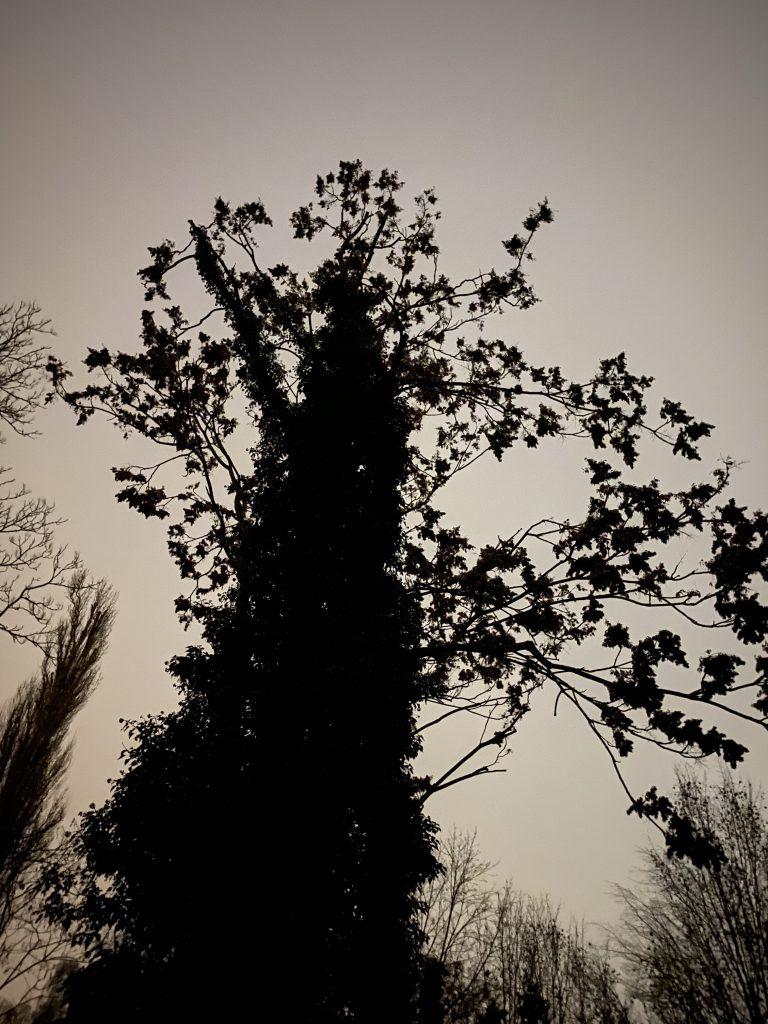 Baumsilhouette mit Efeu gegen weißen Himmel