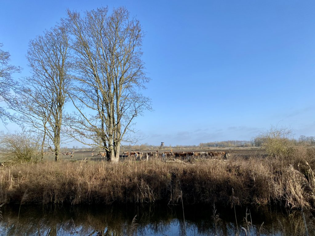 Kühe auf der anderen Flussseite im Winter