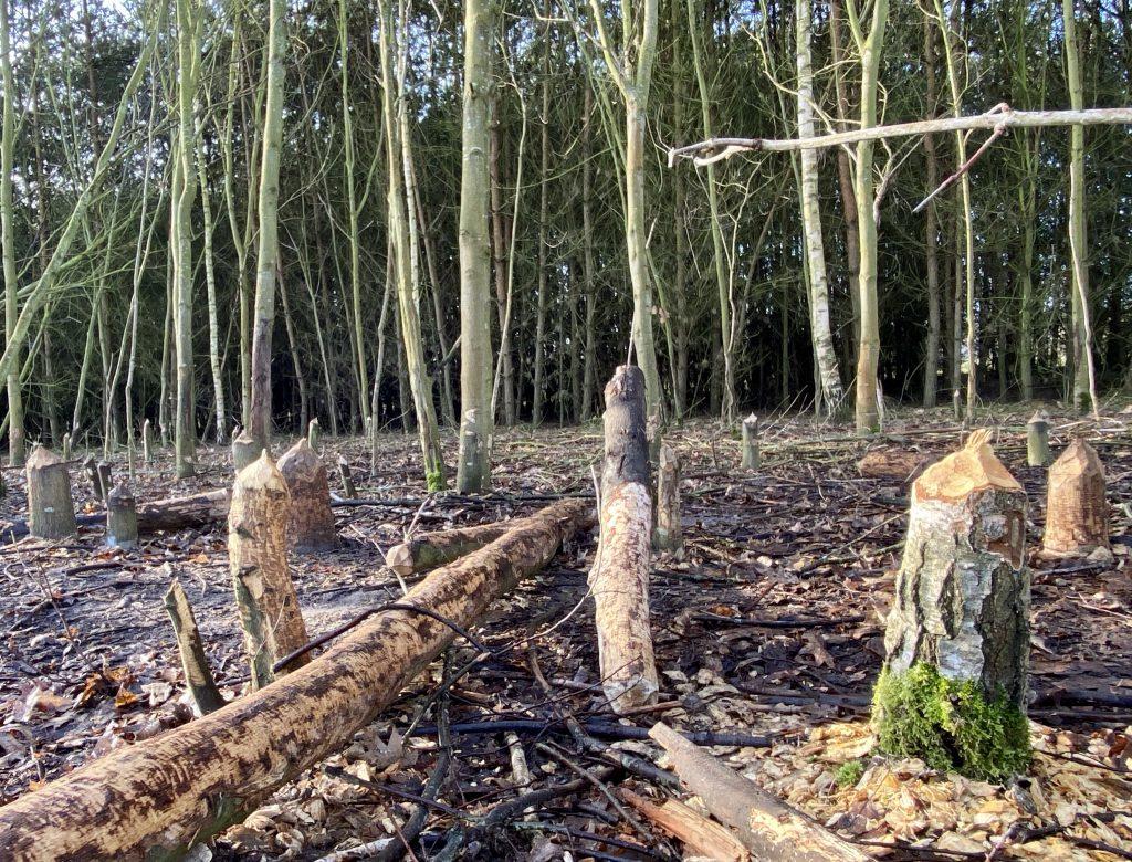 Baumstümpfe, von Bibern angenagt, vor Waldsaum