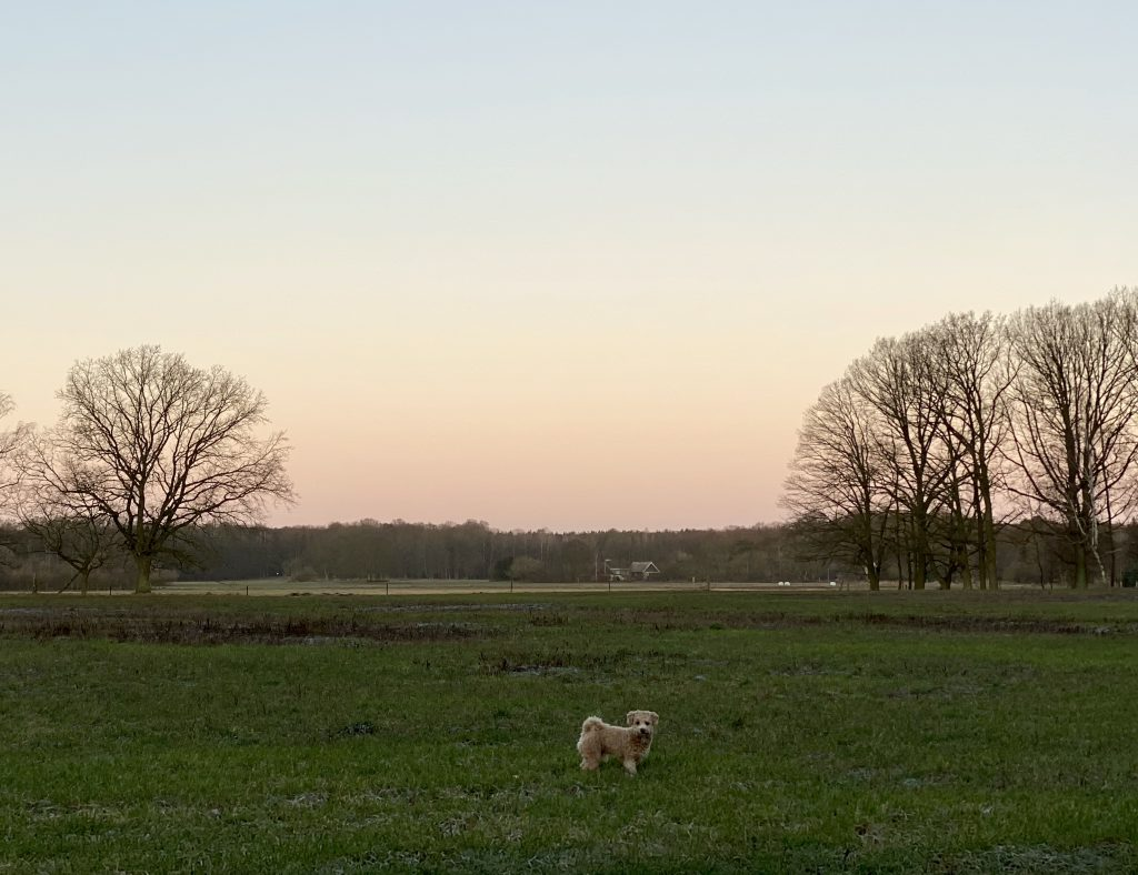 kleiner Bolonka-Pudel-Mischling auf grüner Wiese vor zartem rosa Himmel zwischen Bäumen