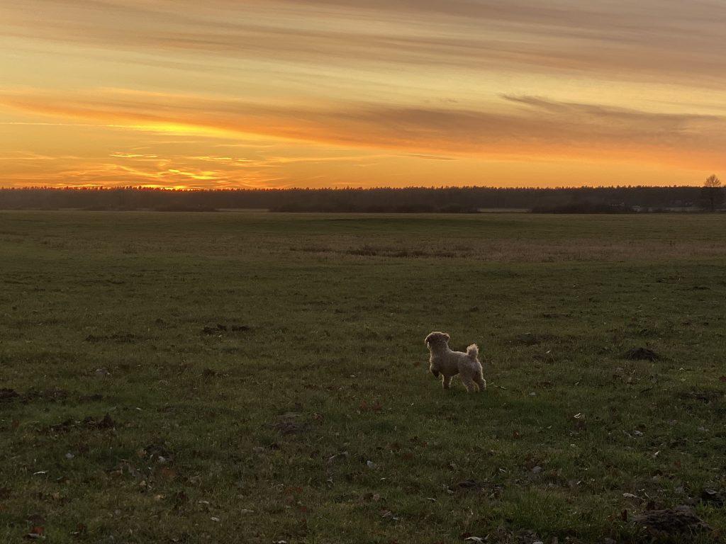 kleiner Hund auf Wiese vor Sonnenuntergang
