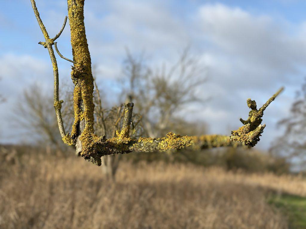 Zweig mit Flechten im Winter