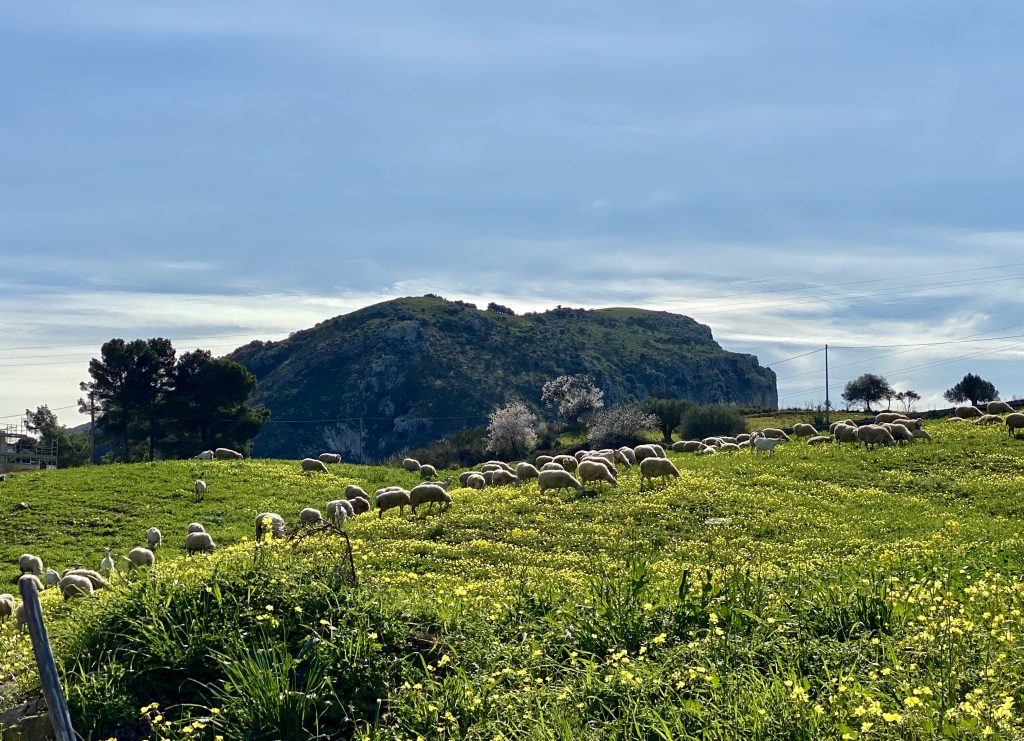 Schafe auf grüner Weide, mediterrane Gebäude und Pflanzen im Hintergrund