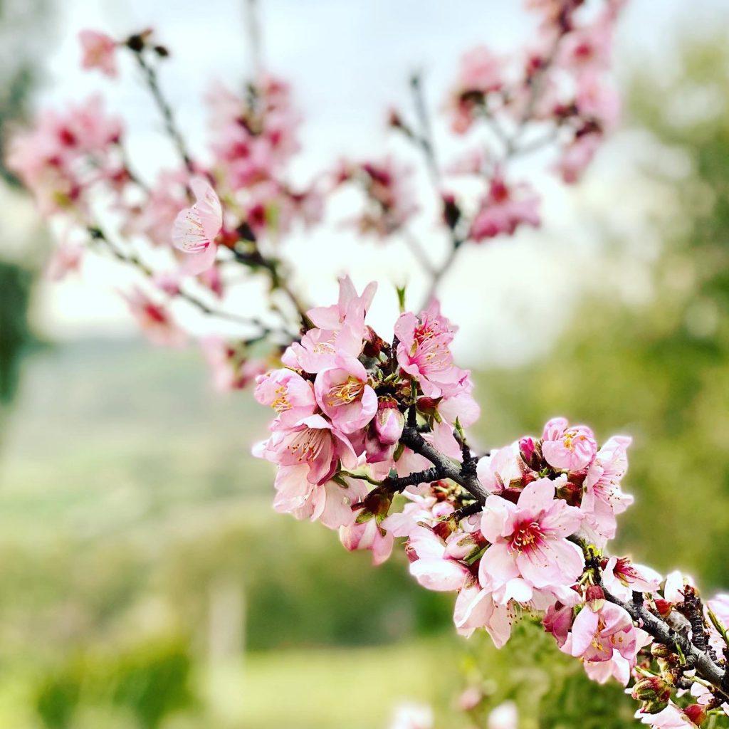 Mandelblüten in Sizilien an Zweig vor Grün nah