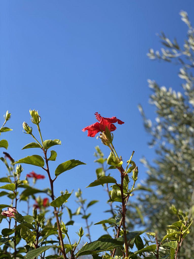 rote Hibiskusblüte vor blauem Himmel