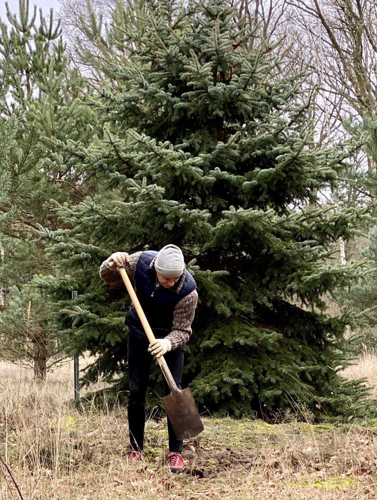 Mann gräbt in Wiese vor Tannenbaum