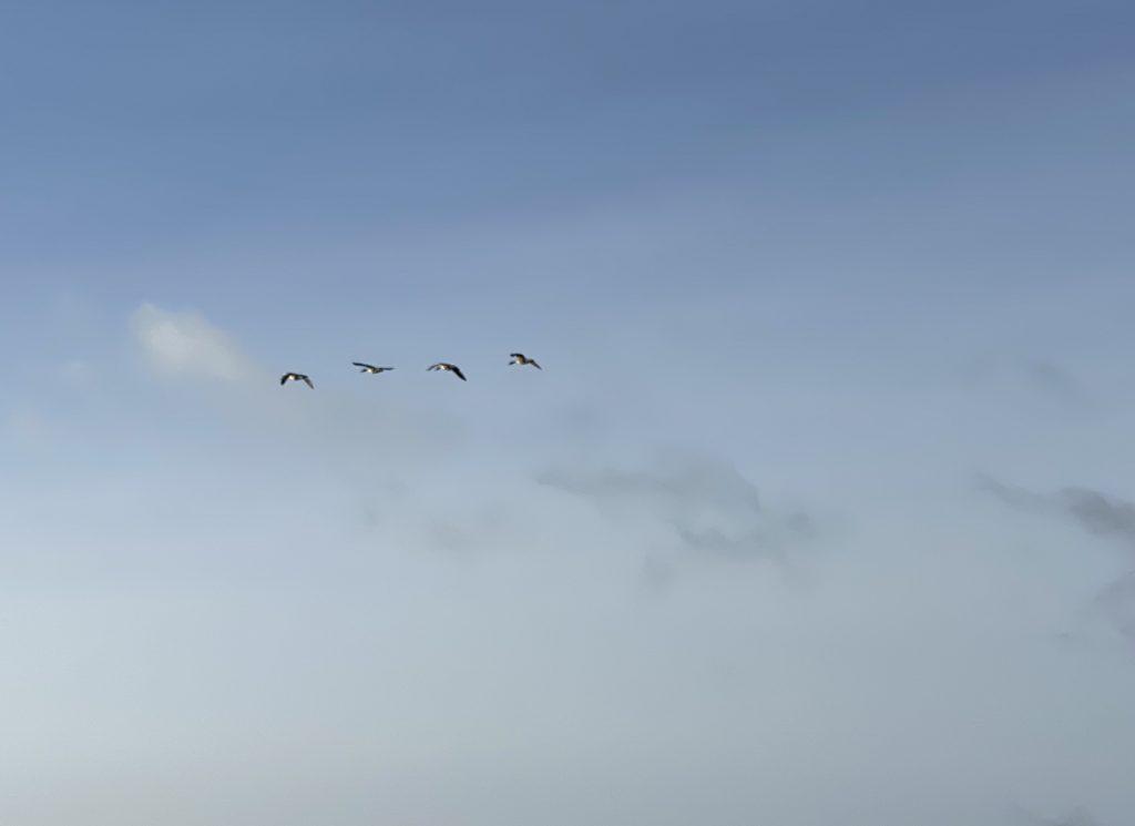 4 Wildgänse fliegen über den blauen Himmel