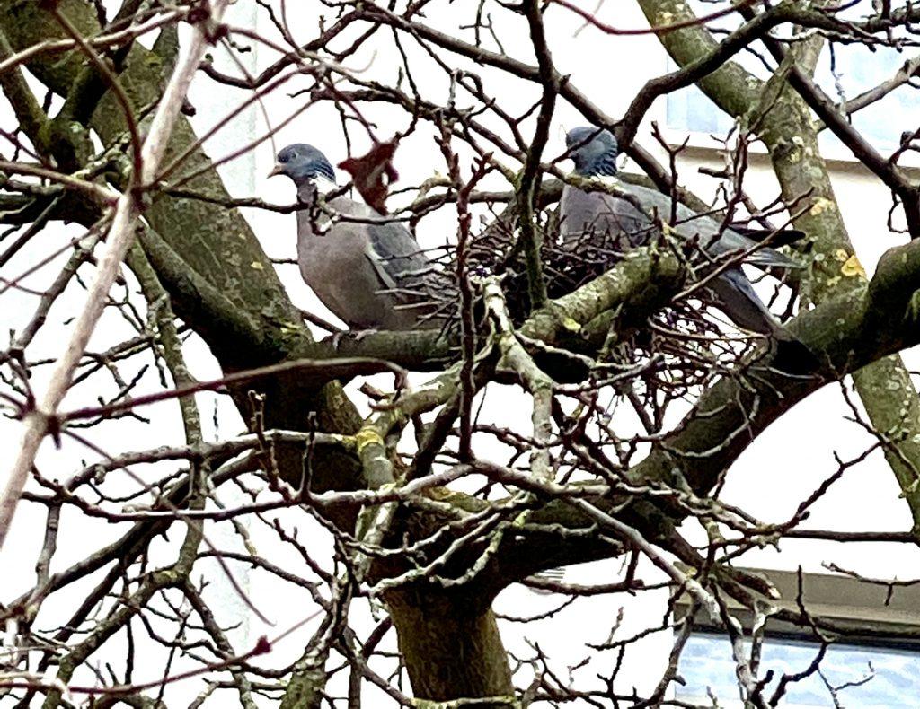 2 Tauben in einem Nest in einem kahlen Baum