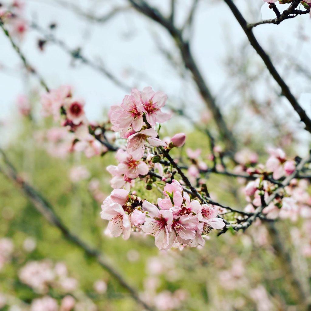 Mandelblüten an Zweig vor Grün