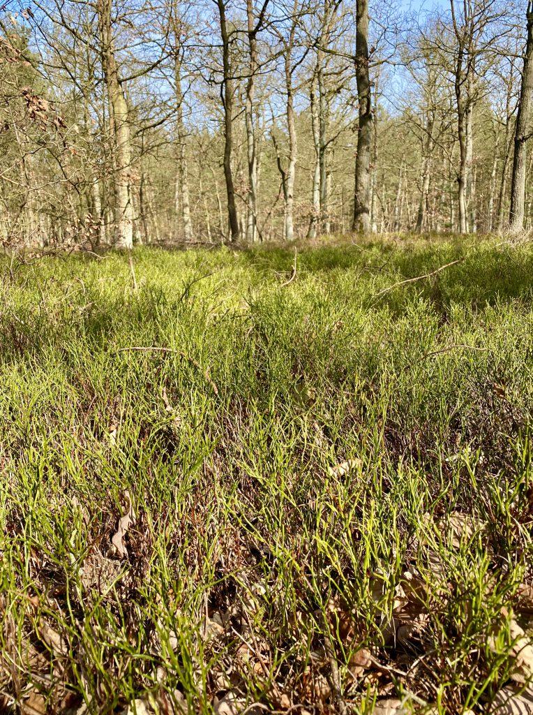 Waldlichtung mit Blaubeerkraut im Vorfrühling