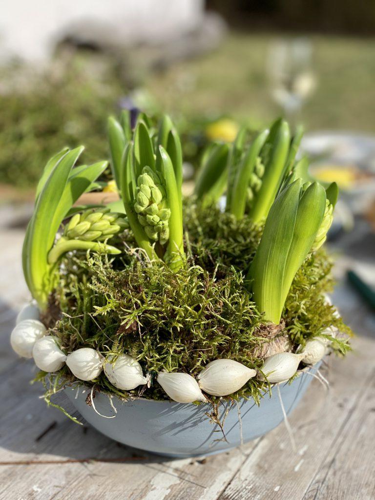 Dekoration mit Steckzwiebeln: taubenblaue Schale mit Moos und Hyazinthenknollen, weißer Steckzwiebel-Kranz drumherum, auf Gartentisch