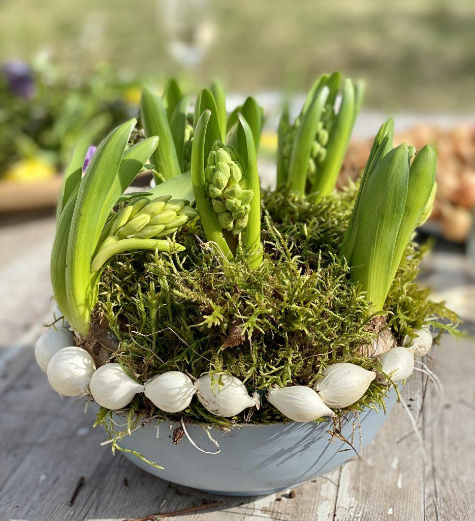 Dekoration mit Steckzwiebeln: Gesteck mit Moos, Hyazinthen und kleinem Zwiebelkranz mit weißen Zwiebeln