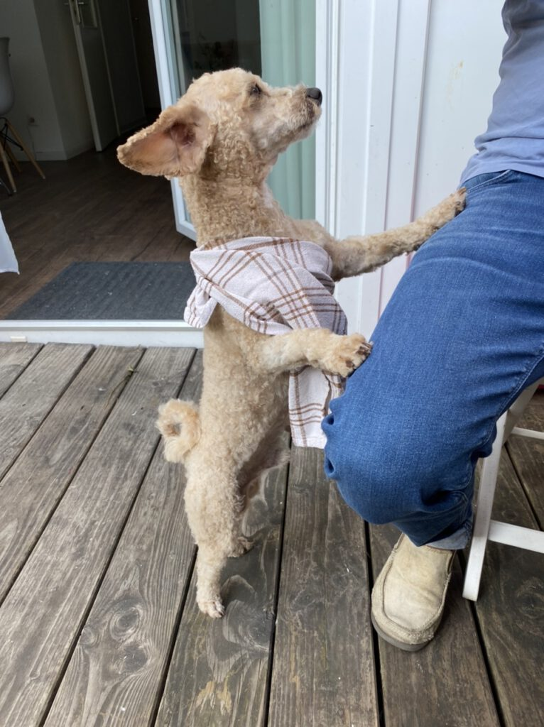Kleiner Hund mit Geschirrtuch um den Körper und seitlich abstehenden Ohren macht Männchen am Bein des Herrchens und sieht aus wie Dobby der Hauself von Harry Potter