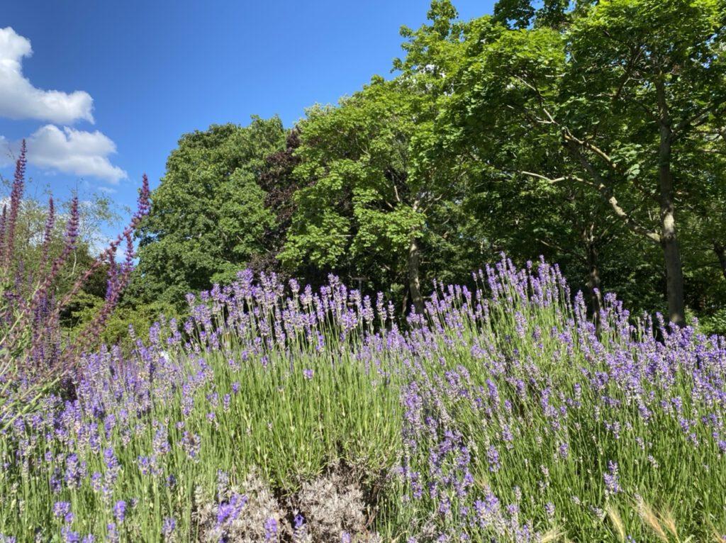 Glücksmomente der Woche vom 18. bis 24. Juni 2020, Nr. 5: Lavendelrabatte mit Bäumen und blauem Himmel im Hintergrund